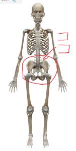 骨盤の前傾や後傾の動きと股関節や脊椎